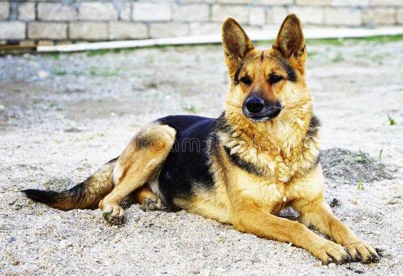 Beau berger allemand noir rouge photo libre de droits