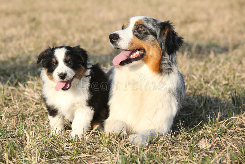 Beau berger australien Dog avec son chiot image stock