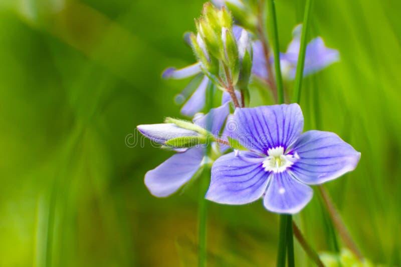 Beau bloosom minuscule bleu de fleur de forêt de Myosotis au printemps image libre de droits