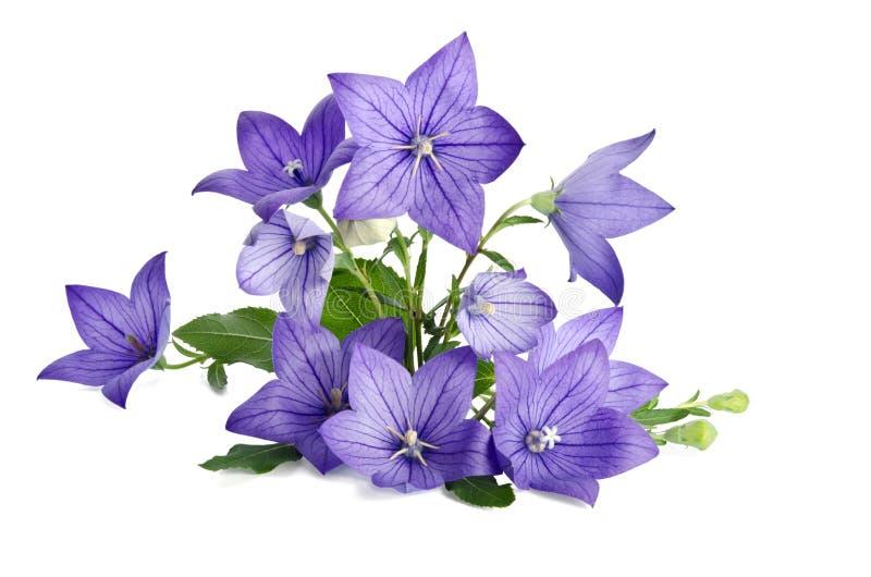 beau bouquet des fleurs de Bell d'isolement sur le backgrou blanc image stock