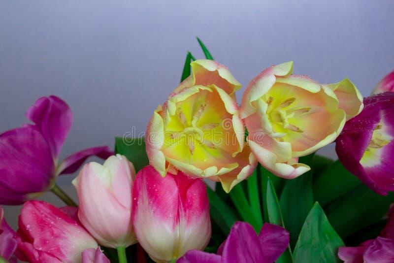 Beau bouquet des fleurs jaunes pourpres de tulipes de rose coloré frais sur le fond neutre gris avec le copyspace photographie stock libre de droits