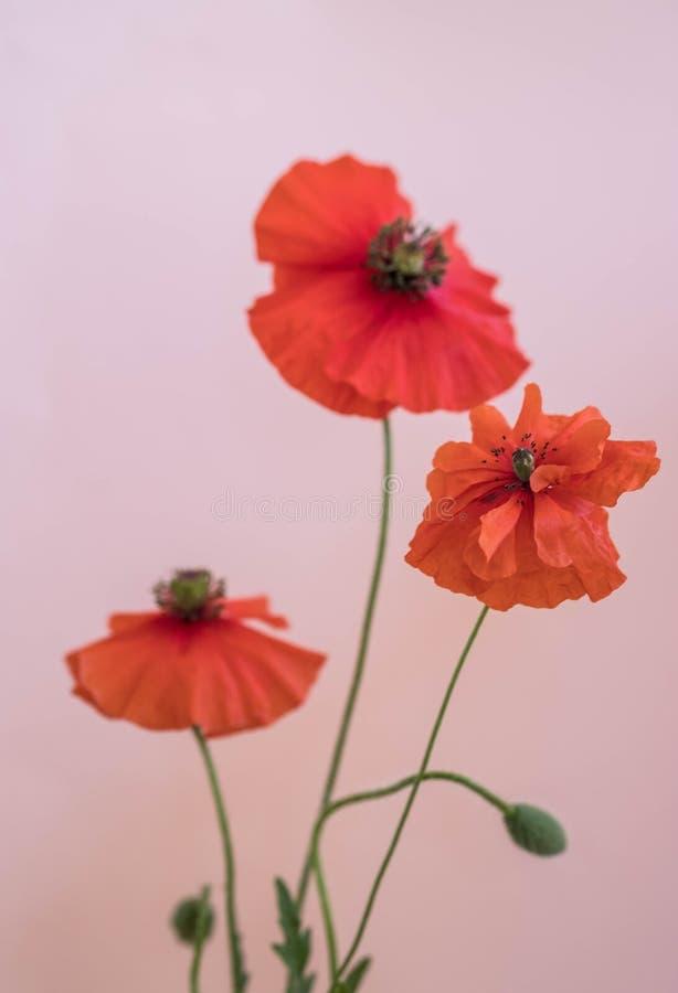 Beau bouquet rouge de pavots photos stock