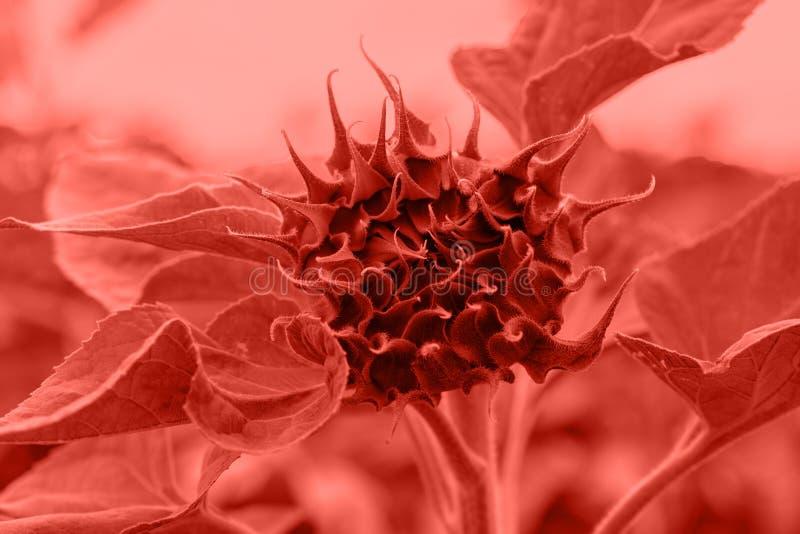 Beau bourgeon de tournesol dans la couleur à la mode de l'année 2019 photographie stock libre de droits