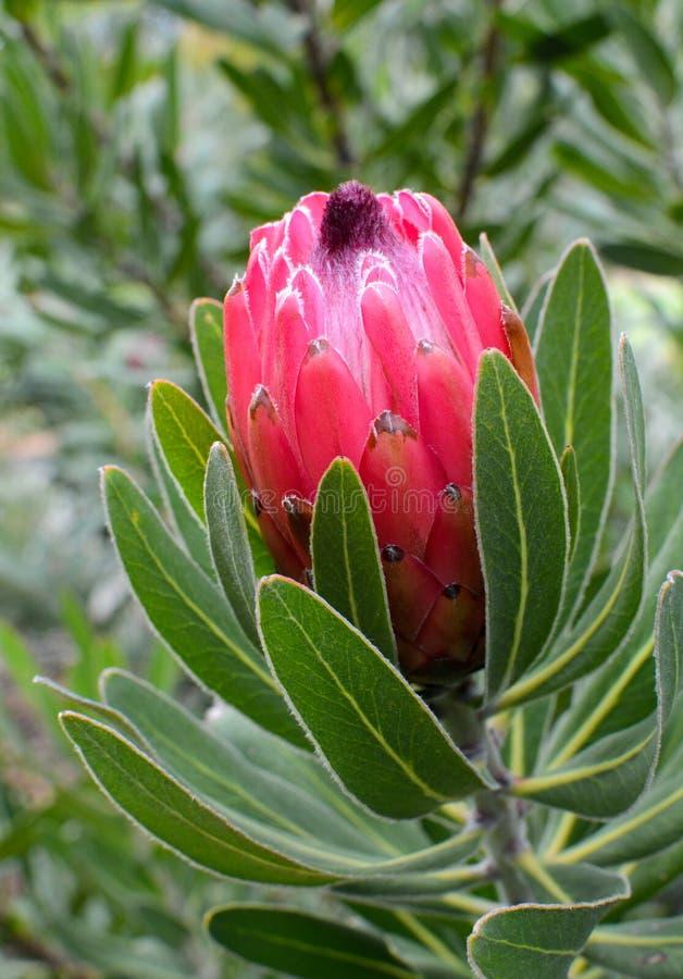 Beau bourgeon floral rose et rouge de protea commençant juste à s'ouvrir photo libre de droits