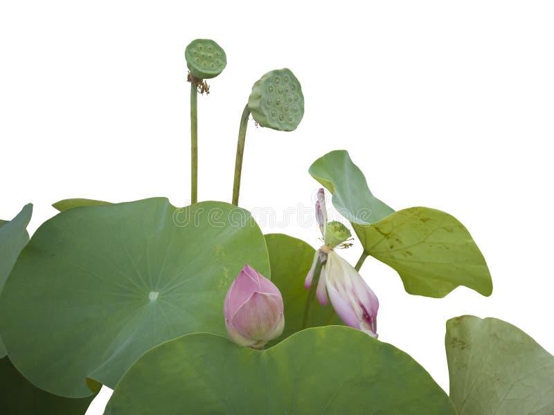 Beau bourgeon ou nénuphar pourpre de lotus dans l'étang d'isolement sur le fond blanc photos stock