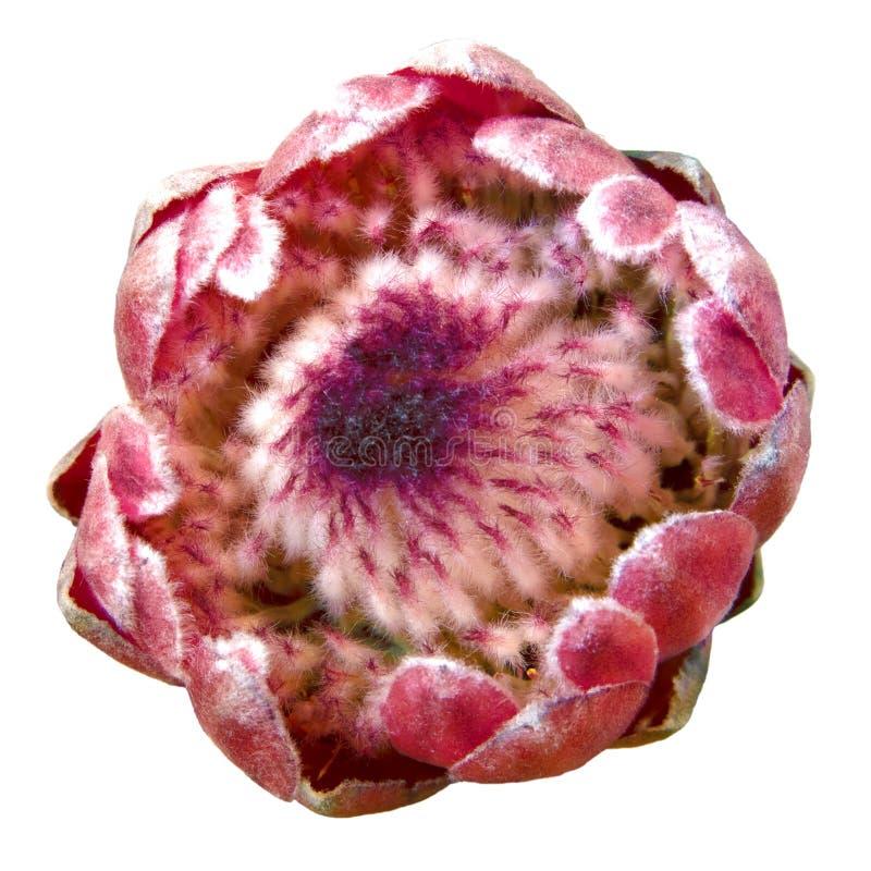 Beau bourgeon rose de Protea Magnifica photographie stock libre de droits
