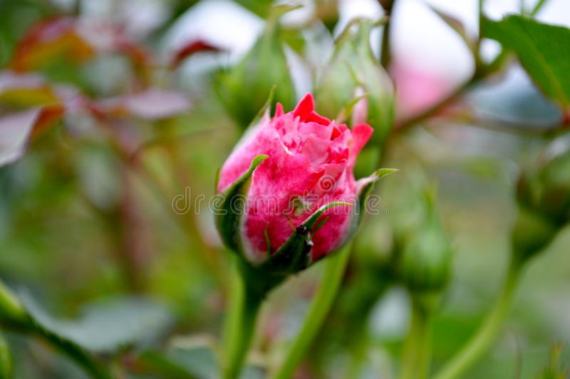 Beau bouton de rose rose photos stock
