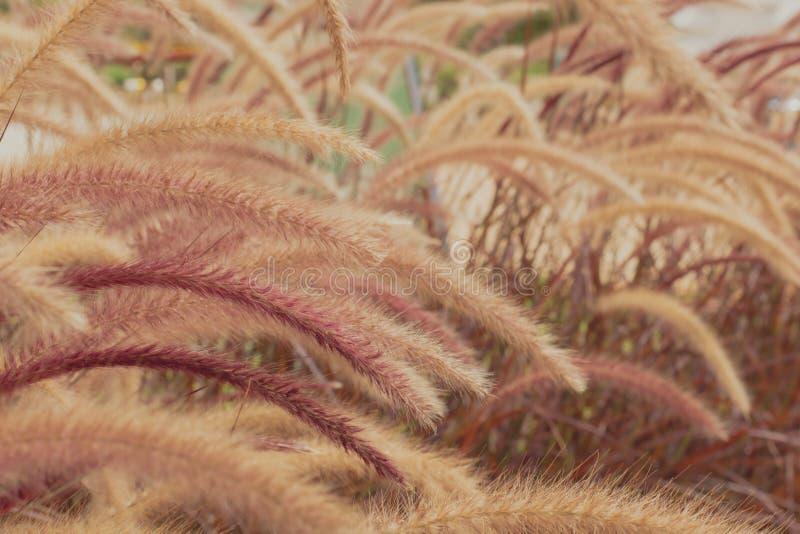 Beau brun de fleur d'herbe avec la lumière du soleil pour le fond images libres de droits