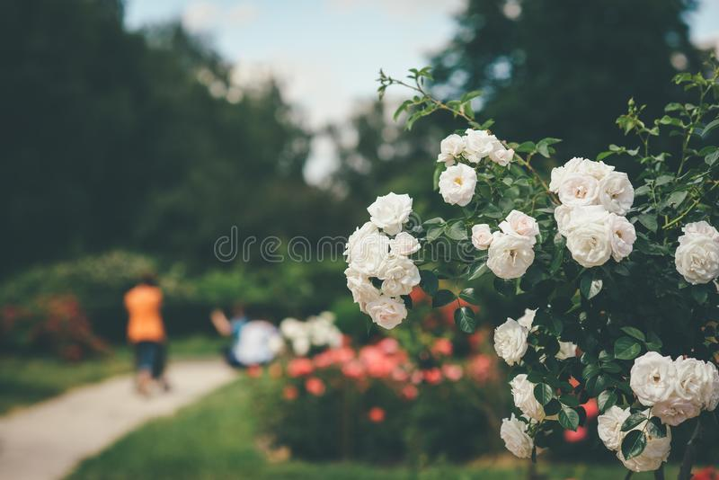 Beau buisson de blanc de rose de fleur photo stock