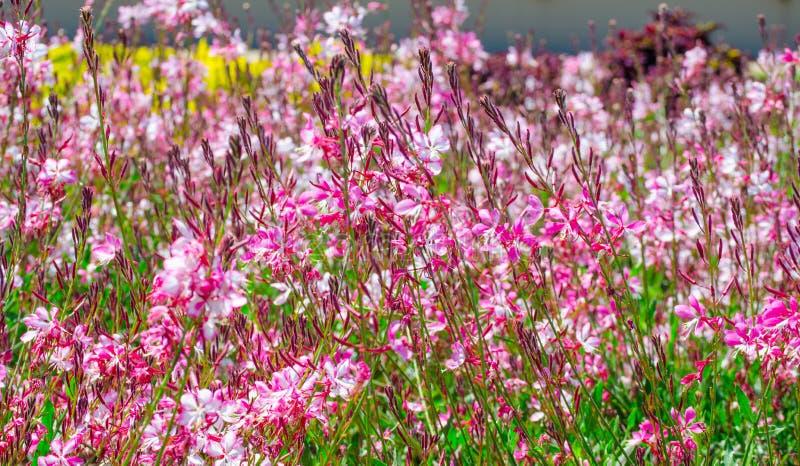 Beau beau buisson rose de fleur ou de papillon de gaura dans un printemps à un jardin botanique images libres de droits