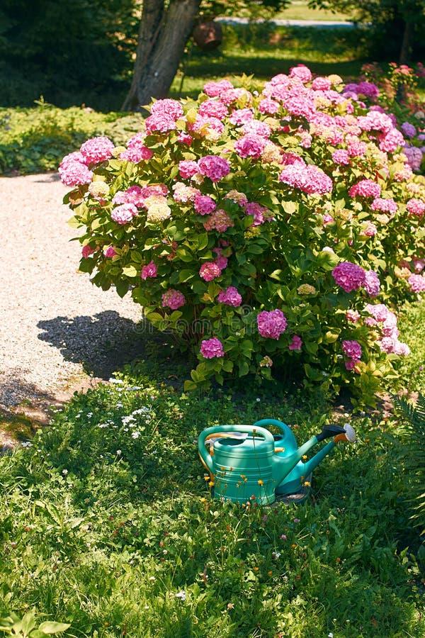 Beau buisson rose de floraison d'hortensia photos stock