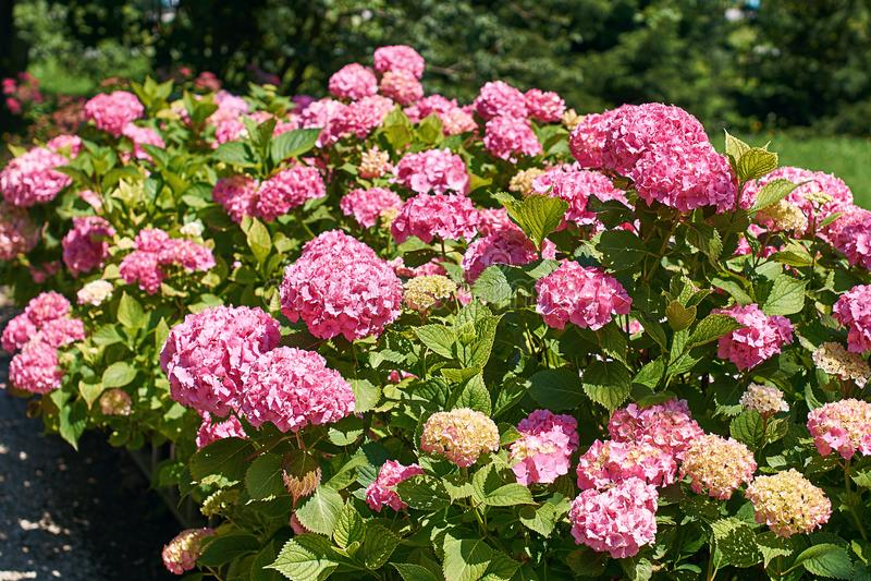 Beau buisson rose de floraison d'hortensia photo libre de droits
