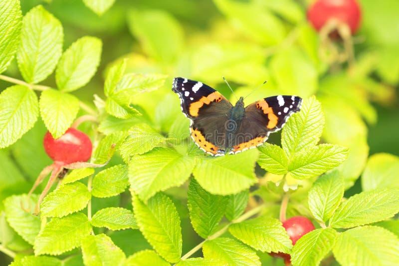Beau buterfly, insecte sur le fond floral de nature verte images libres de droits
