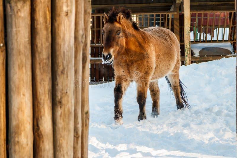 Beau caballus de przewalskii d'Equus sur une route neigeuse photographie stock libre de droits