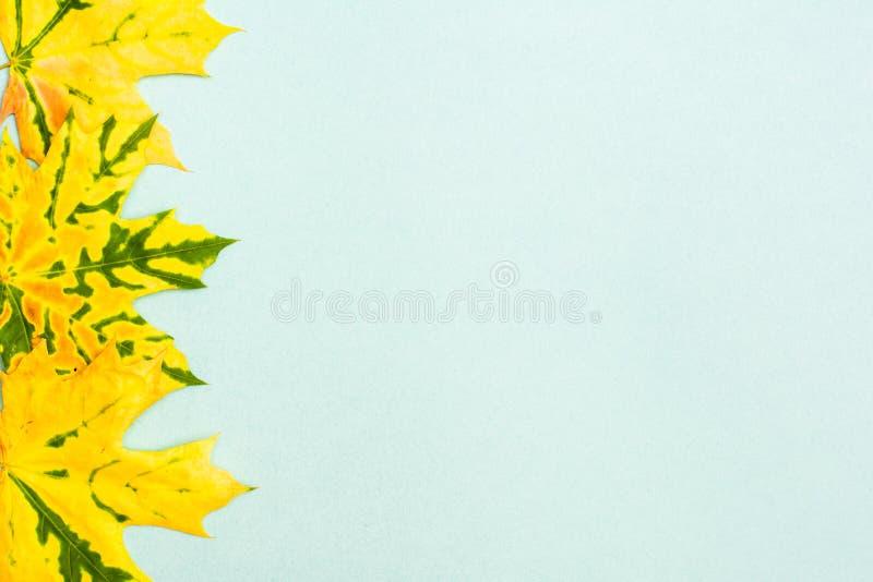 Beau cadre des feuilles tombées vert jaunâtre d'érable photos stock