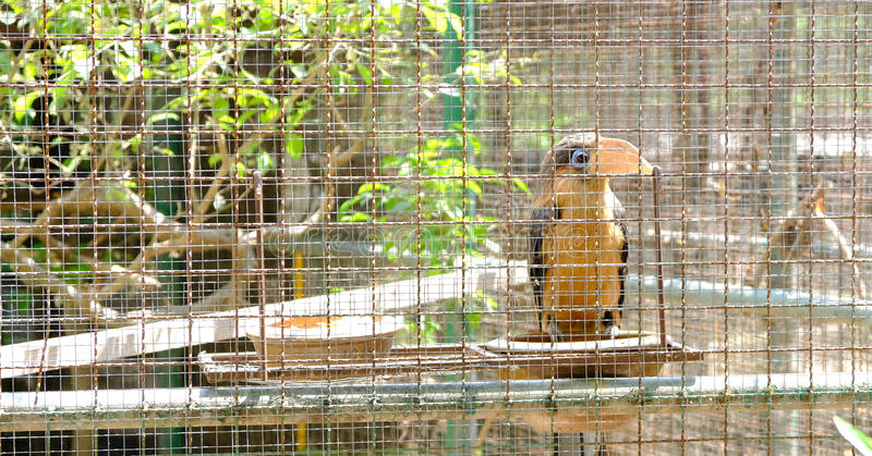 Beau calao pie oriental se tenant sur la branche dans une cage images libres de droits