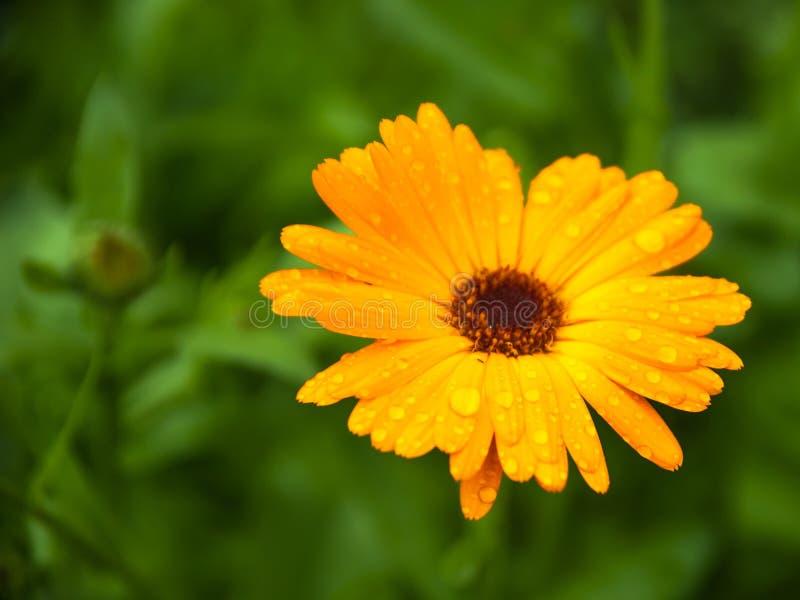 Beau Calendula ensoleillé de fleur image libre de droits
