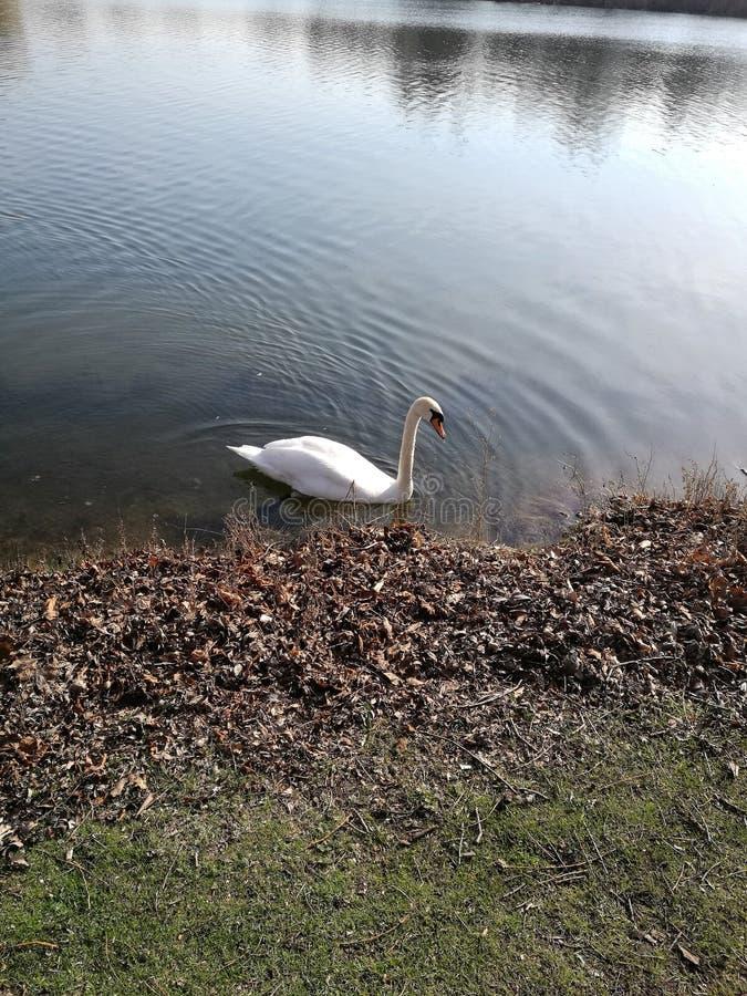 Beau canard blanc images libres de droits