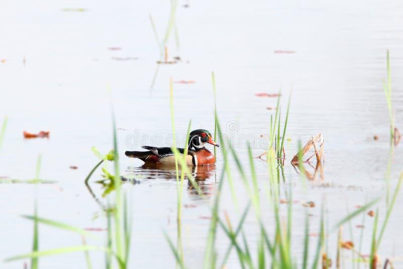 Beau canard en bois dans le lac images libres de droits