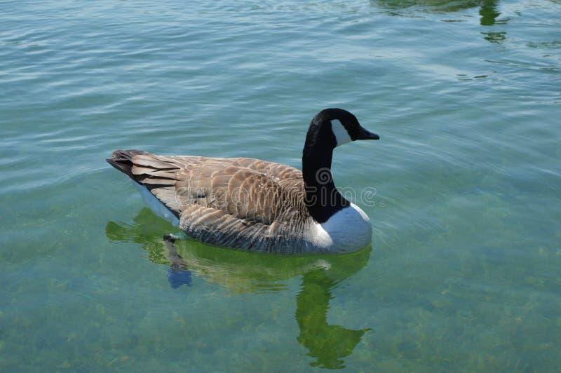 Beau canard flottant sur le lac images libres de droits