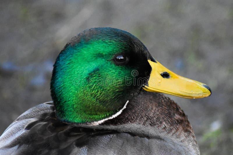 Beau canard sauvage se reposant près d'un lac photographie stock
