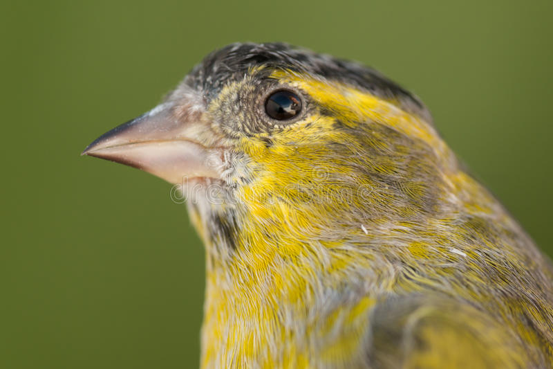 Beau canari jaune et gris photographie stock