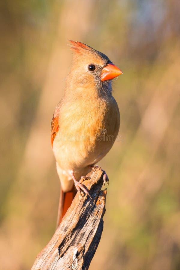 Beau cardinal féminin photo stock