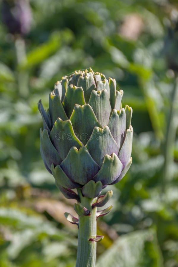 Beau cardunculus mûr de Cynara d'artichaut dans un domaine des artichauts photographie stock