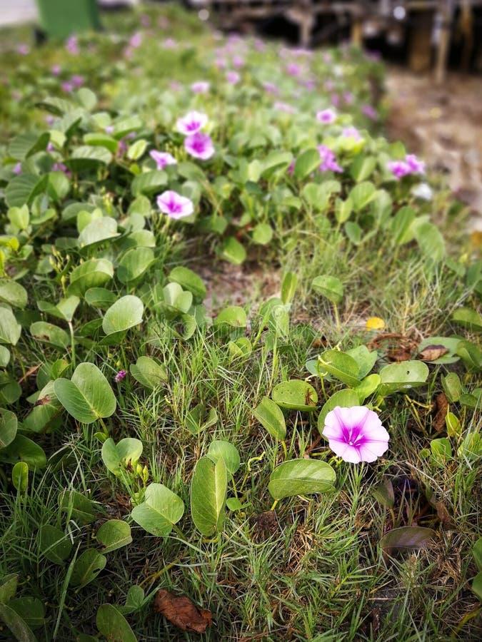 Beau carnea rose d'Ipomoea de fleur de gloire de matin au sol photos stock