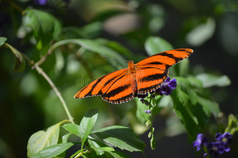 Beau chêne orange Tiger Butterfly en nature photo stock