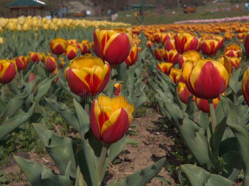 Beau champ coloré de tulipe et de fleurs à Srinagar, Cachemire photographie stock libre de droits