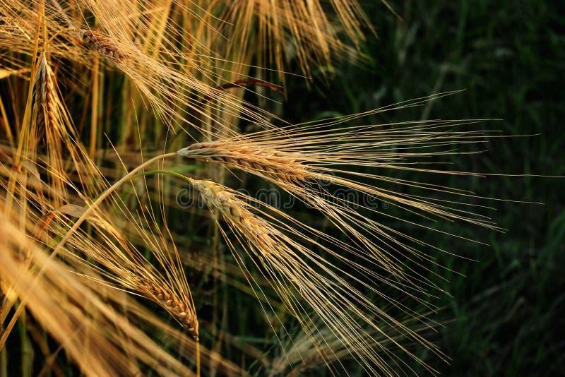 Beau champ de blé de seigle dans le moment étonnant de soleil en été e photos libres de droits