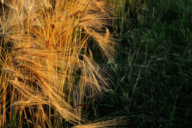Beau champ de blé de seigle dans le moment étonnant de soleil en été e photographie stock libre de droits