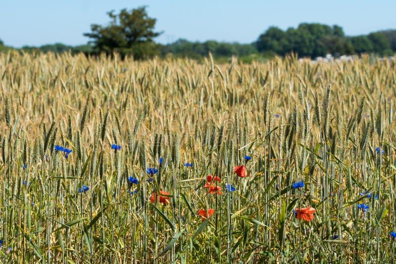 Beau champ de blé vert et jaune avec les fleurs colorées images stock