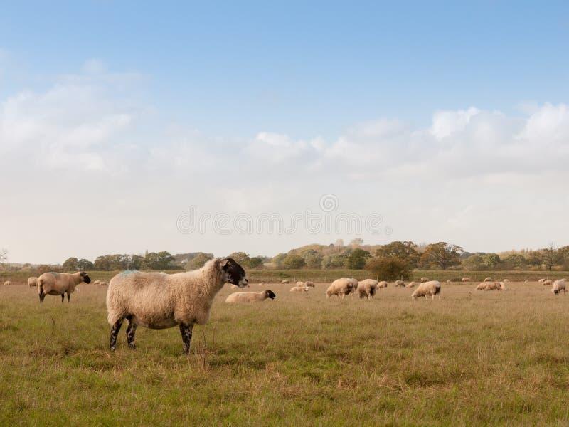 Beau champ de ferme avec des moutons frôlant le jour un d'été d'herbe images stock