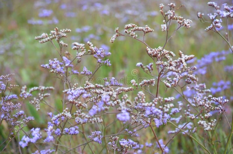Beau champ de la fleur pourpre Vervain Bonariensis ou Purpletop Vervain sous un ciel lumineux images stock