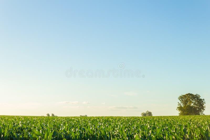 Beau champ de maïs avec le ciel bleu clair photographie stock libre de droits