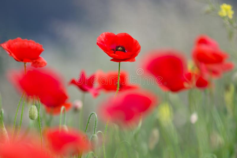 Beau champ de Poppy Flower Bloom On Spring image stock