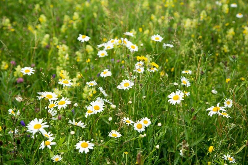 Beau champ de pré avec les fleurs sauvages photo stock