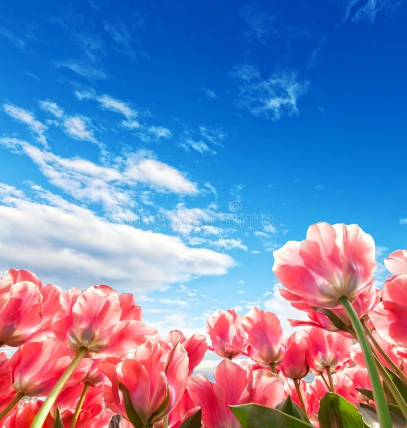Beau champ de tulipes aux Pays-Bas photos stock