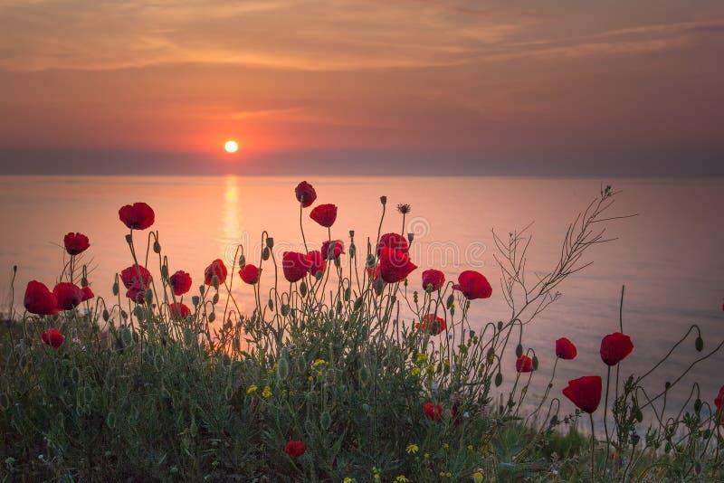 Beau champ des pavots rouges dans le lever de soleil près de la mer image stock