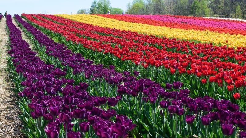 Beau champ des tulipes photo stock
