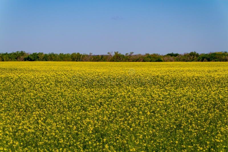 Beau champ fleurissant jaune lumineux des usines de Canola photographie stock libre de droits
