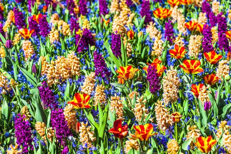Beau champ floral vif en Hollande photo libre de droits