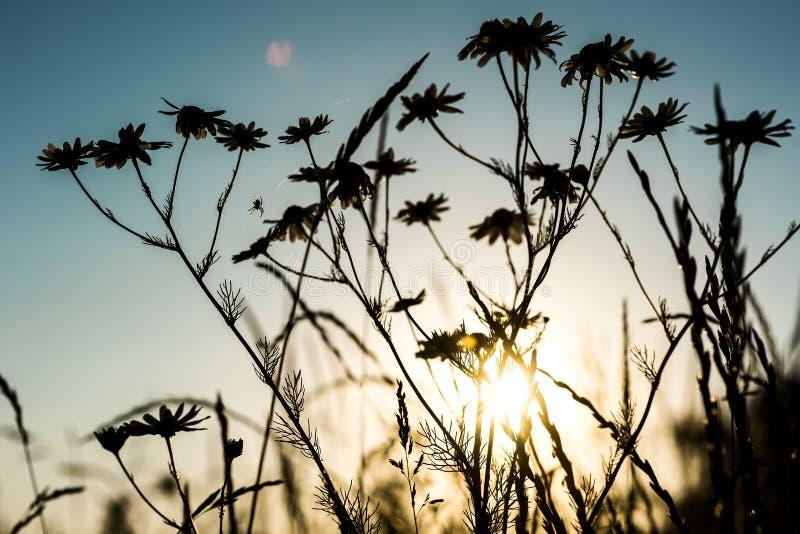 Beau champ sur la lumière de coucher du soleil, silhouette de petites camomilles avec le spyder sur le fond de ciel de soirée photo stock