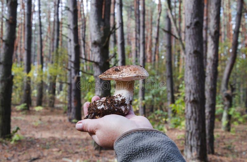 Beau champignon blanc comestible dans une main femelle photo libre de droits