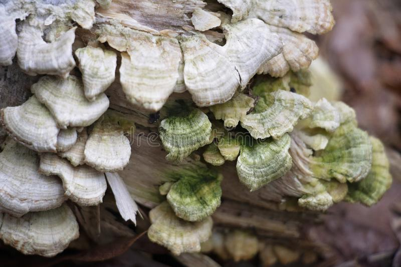 Beau champignon d'?tag?re blanc et vert images stock