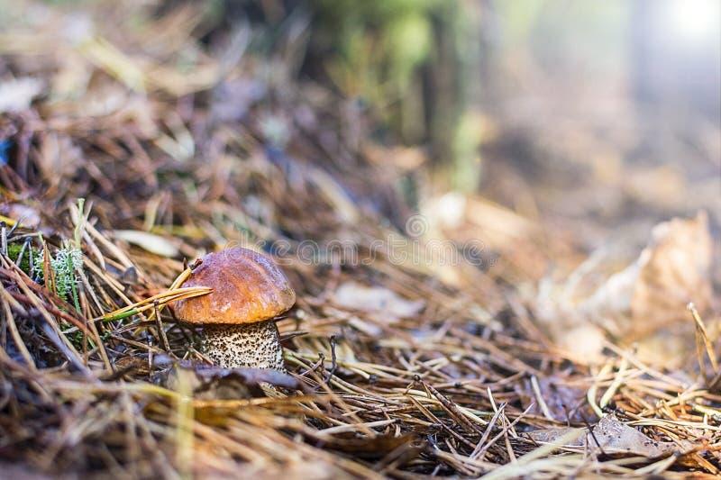 Beau champignon dans les aiguilles impeccables image stock