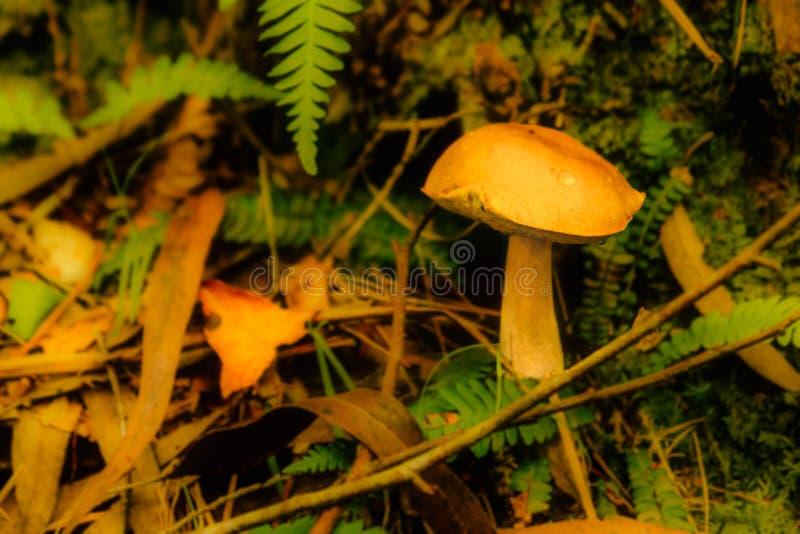 Beau champignon jaune entre les feuilles et les branches tombées image stock
