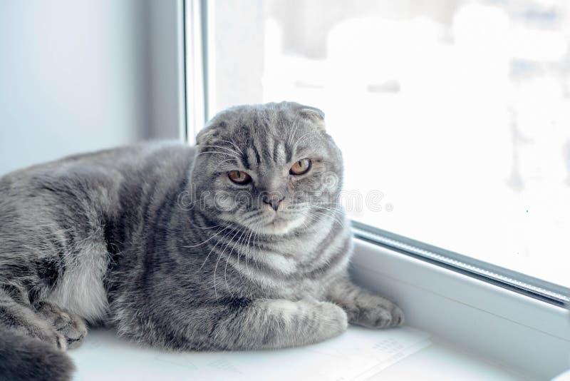 Beau chat écossais de pli regardant au côté, se trouvant sur le rebord de fenêtre images stock
